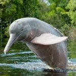 Bufeo - Amazon pink river dolphin