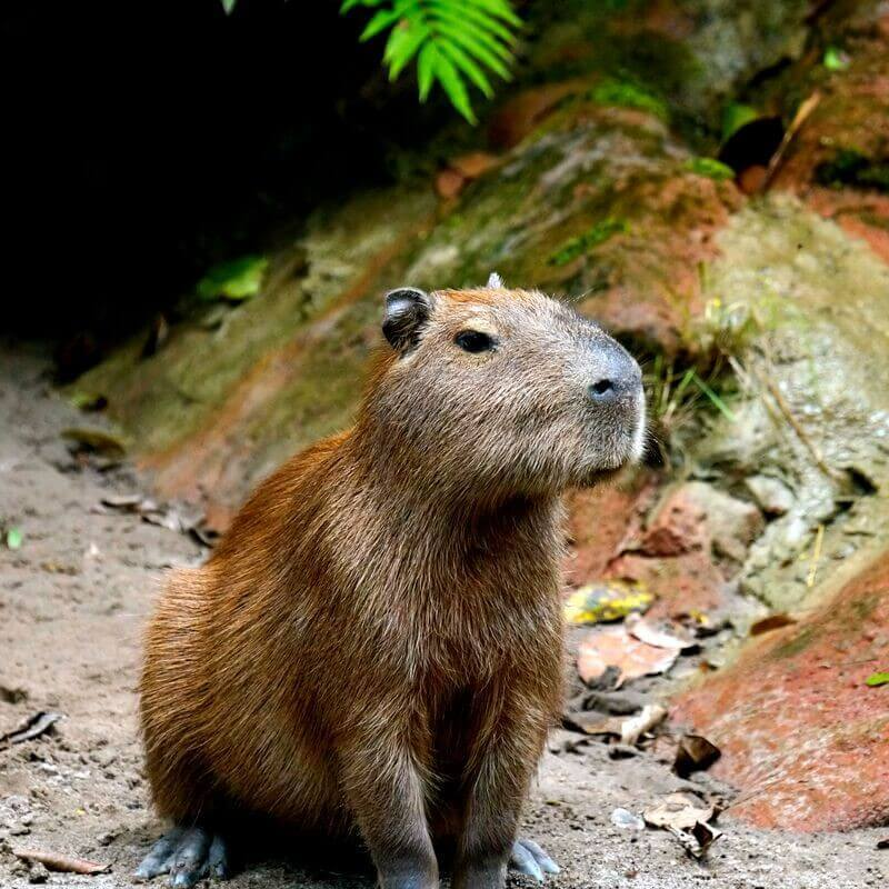 Capybara - Bolivian Amazon pink river dolphin tour
