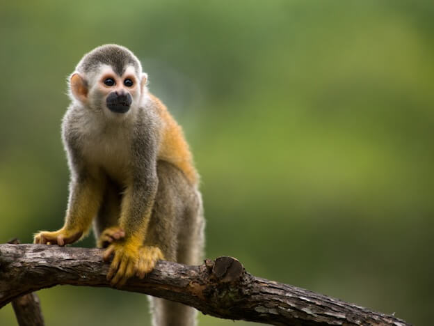 Squirrel-monkey - Bolivian Amazon pink river dolphin tour