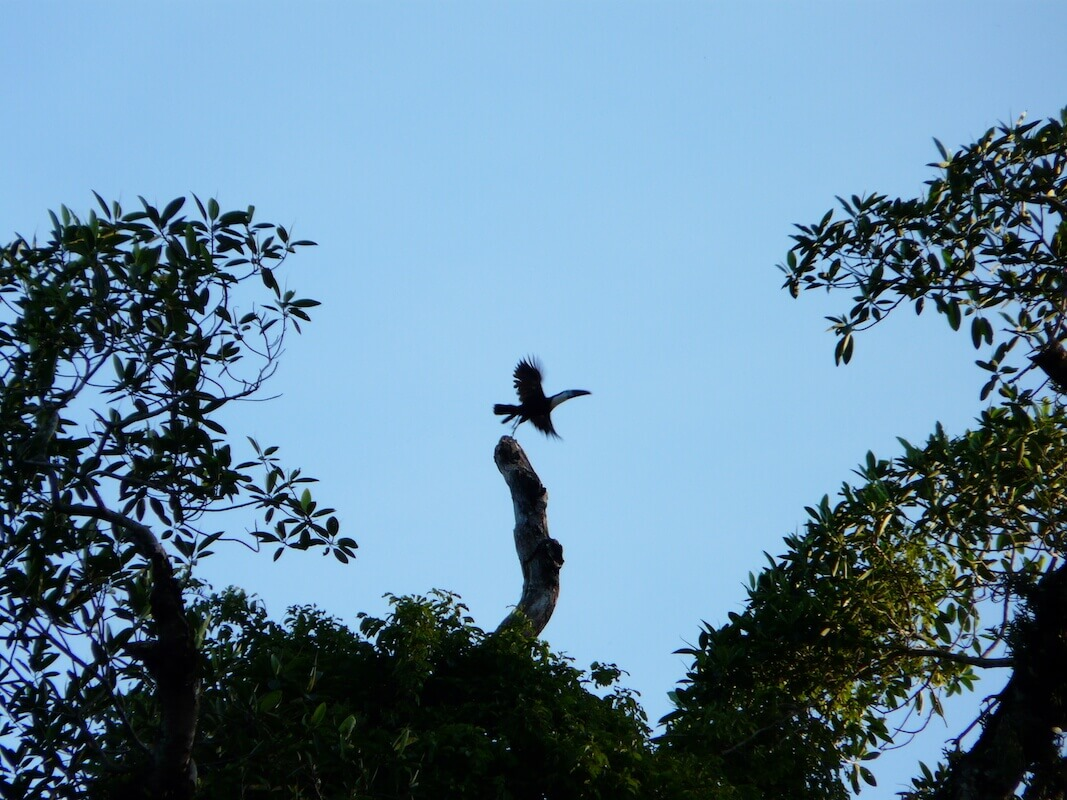 Flying toucan - Amboro national park, Bolivia