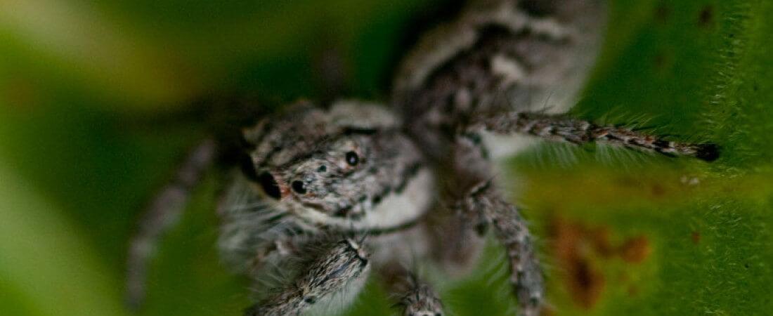 Spider - Amboro Mataracu Tent Camp