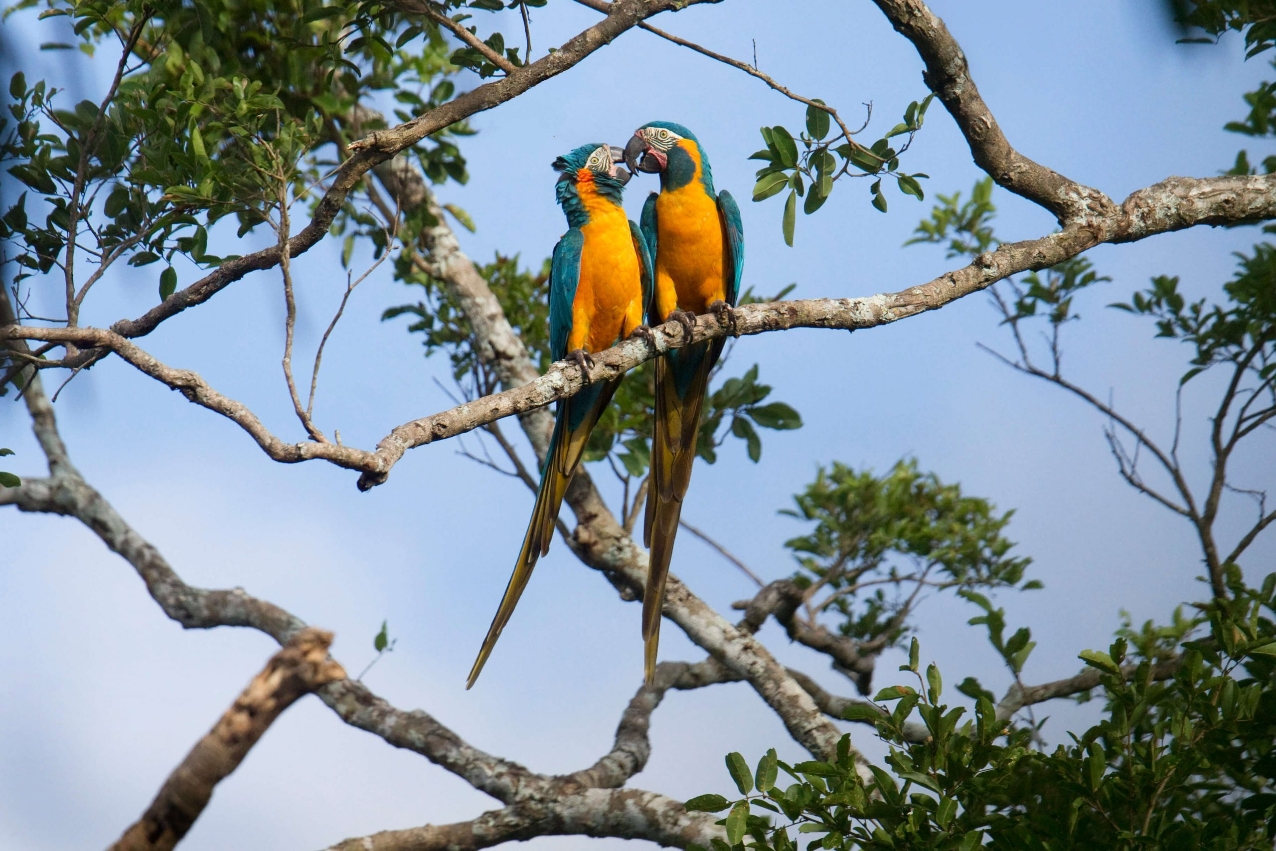 Blue-Throated-macaw -pair ready for breeding