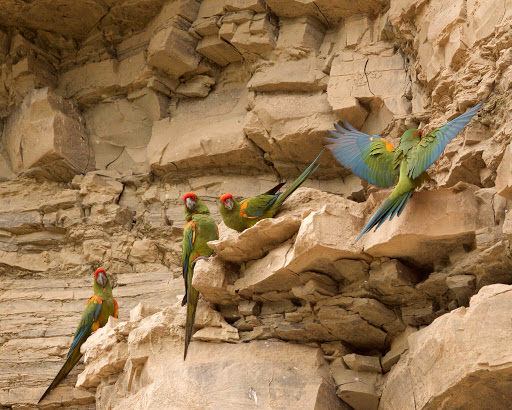 Breeding cliff red fronted macaw