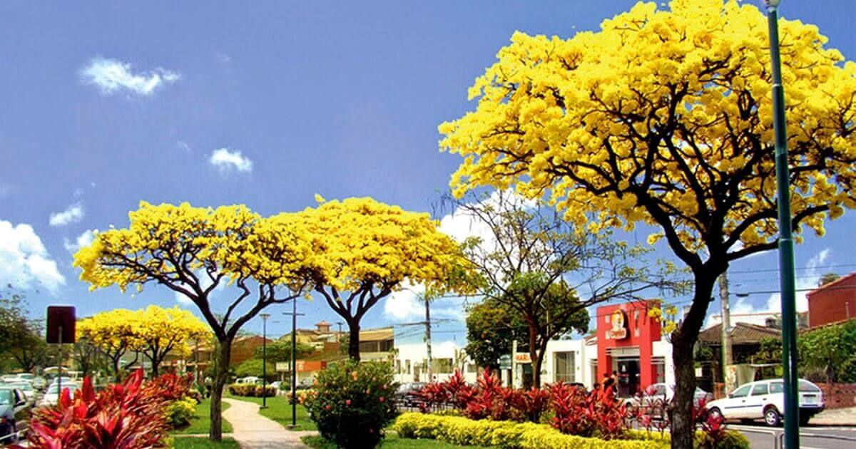 Blooming tajibo trees - city tour Santa Cruz