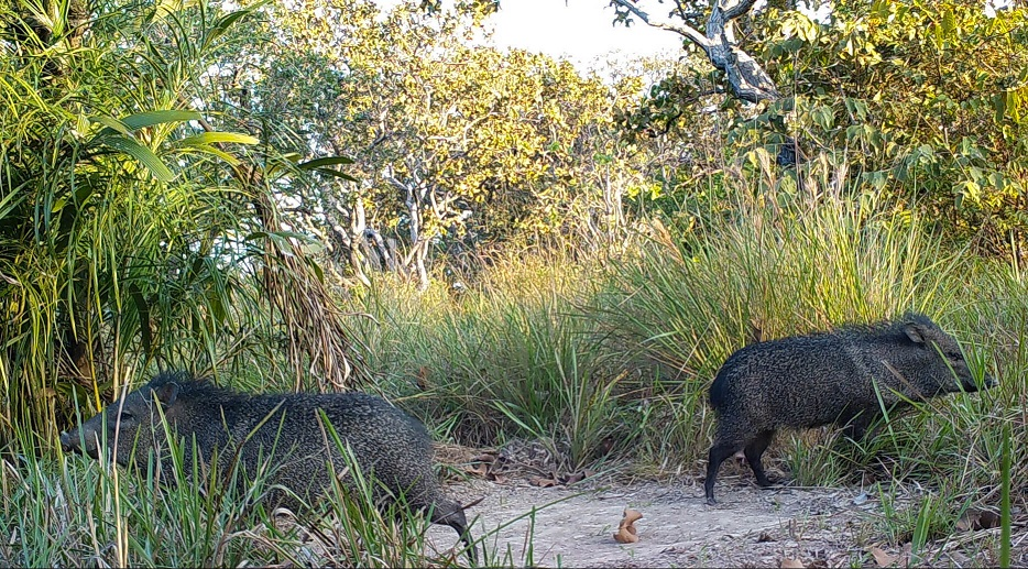 Collard peccary at Blue Throated Macaw Lodge