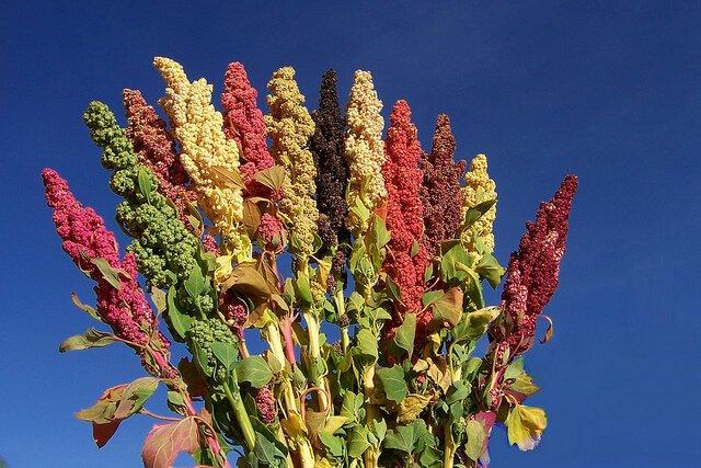 Colourful quinoa