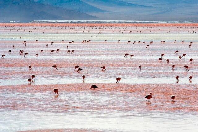 Flamingos - Laguna Colorada, Uyuni, Bolivia