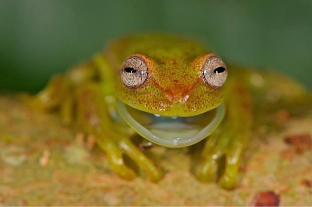Frog, Chalalan ecolodge, Madidi National Park