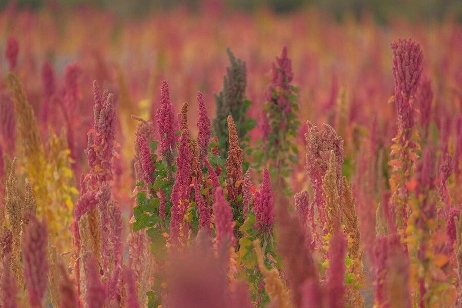 Quinoa fields Kachi lodge Uyuni