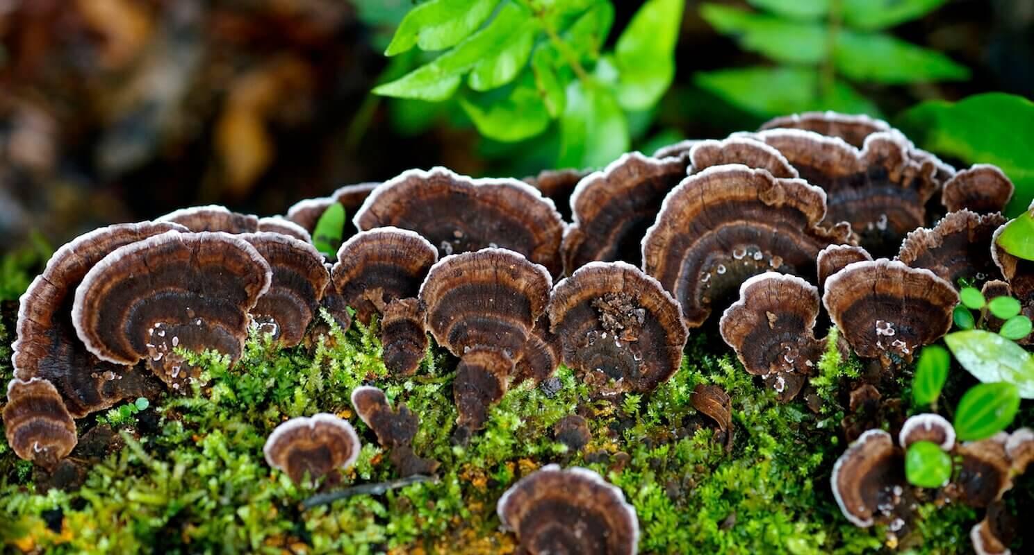 los-volcanes-fungus