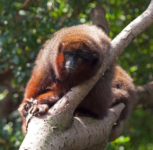 Monkey - Chalalan ecolodge Madidi national park, Bolivia
