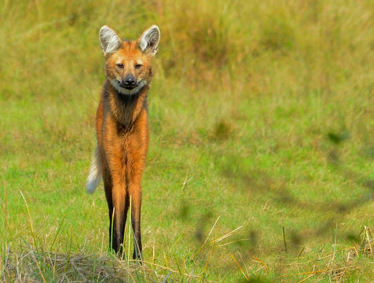 Maned Wolf at Blue-Throated Macaw Lodge