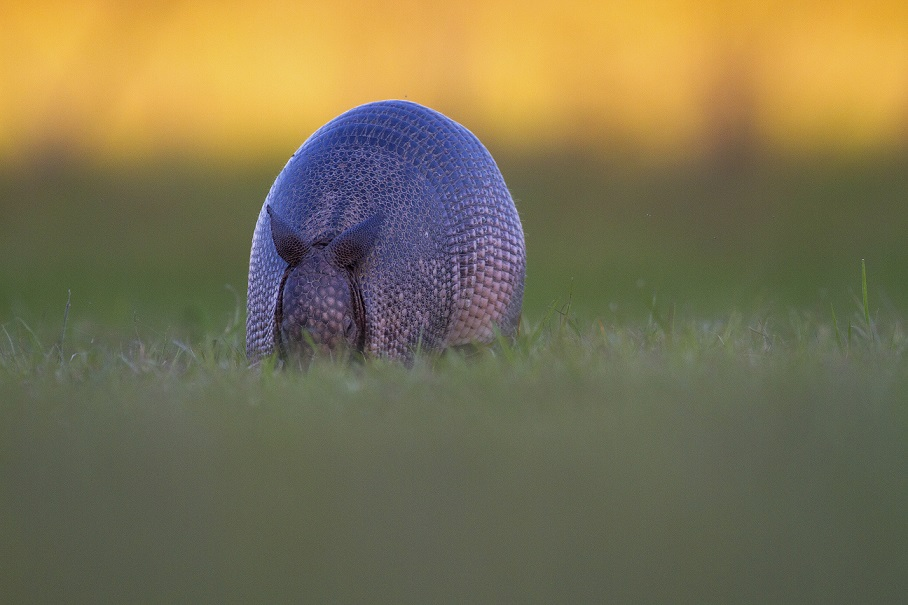 Nine Banded Armadillo at Blue Throated Macaw lodge