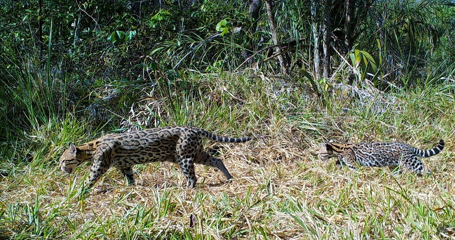 Ocelot with cub at Blue-Throated Macaw lodge