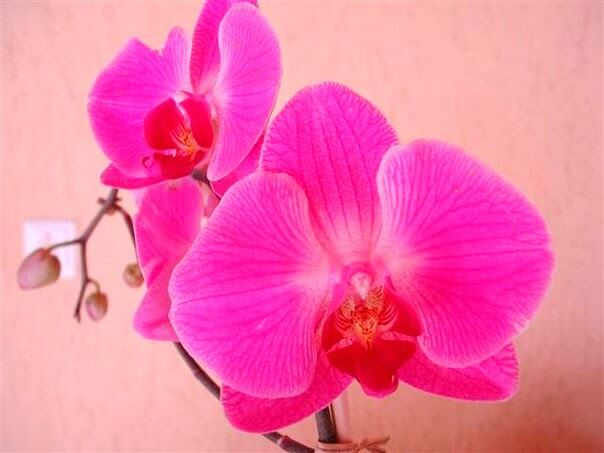 Orchid - Orchid Festival Concepcion, Bolivia