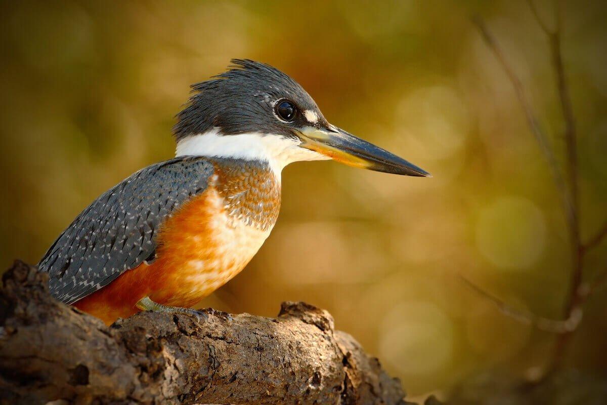 Martin Pescador (Alcedo atthis) - Pantanal tour Bolivia