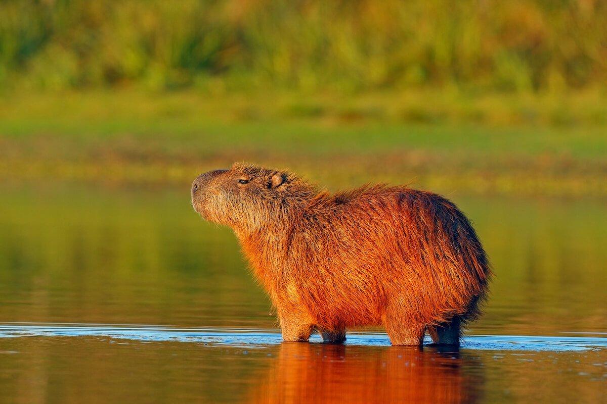 Capybara - Pantanal tour Bolivia