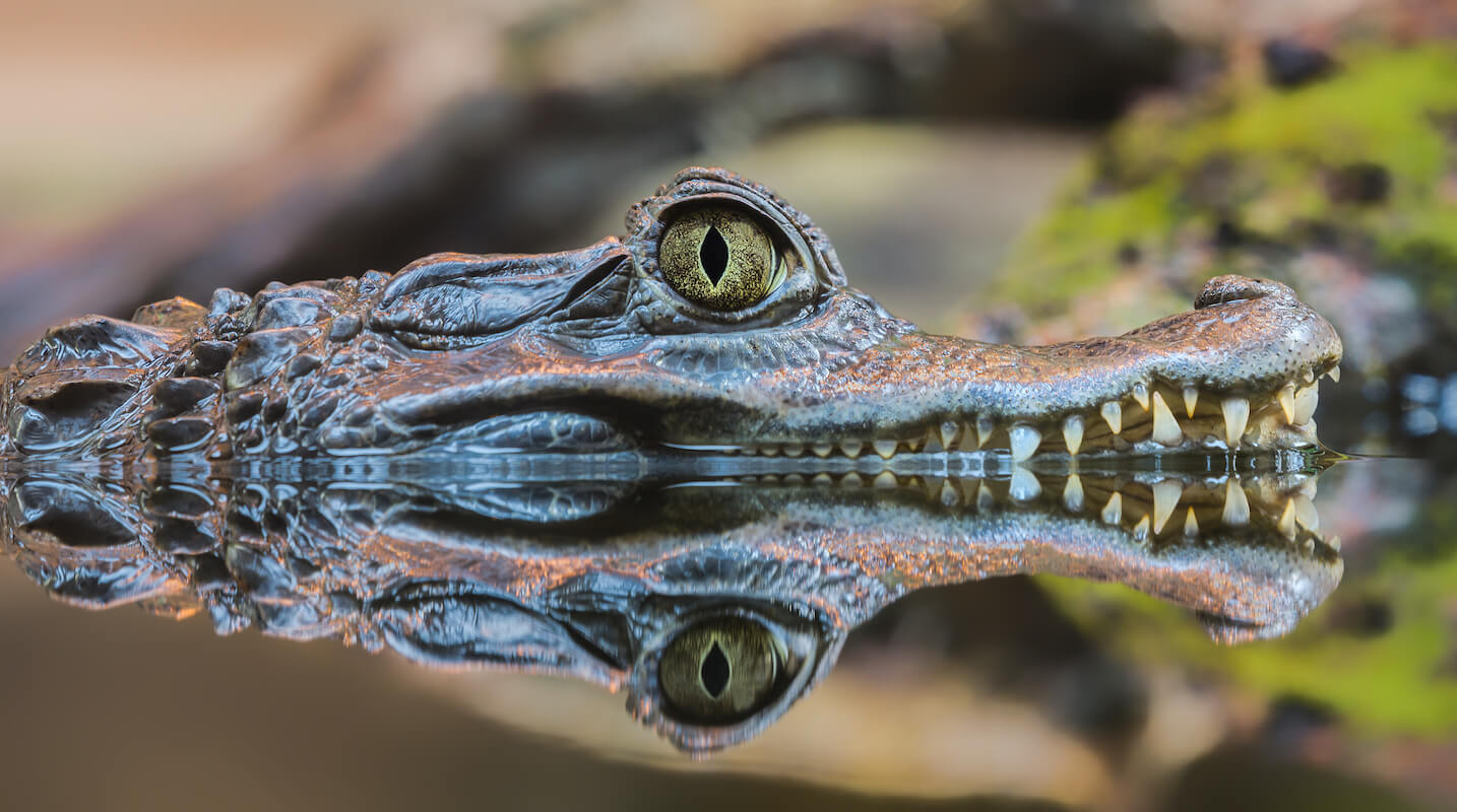 Crocodile - Pantanal tour Bolivia