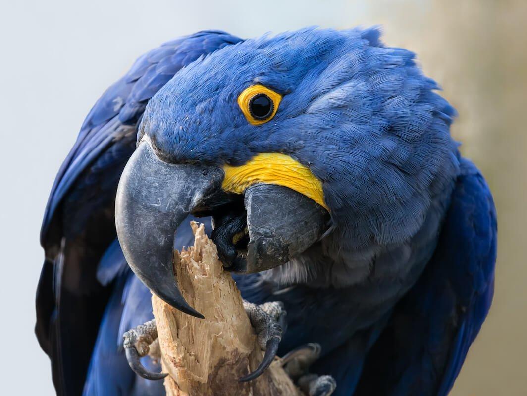 Hyacinth macaw - Pantanal tour Bolivia