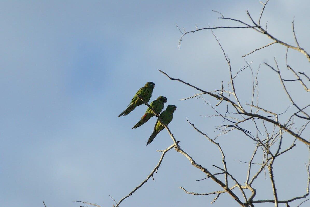Parrots - Noel Kempff Mercado national park