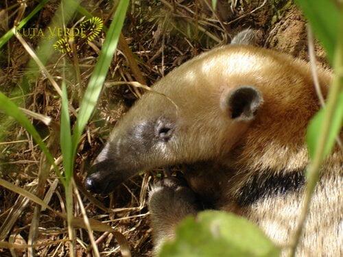 Anteater - Los Fierros, Noel Kempff Mercado National Park