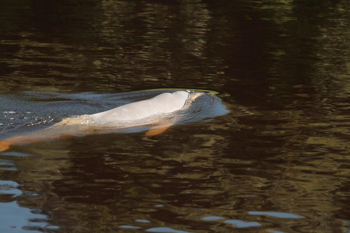 Pink river dolphin - Los Fierros, Noel Kempff Mercado National Park.