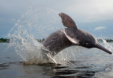 Pink river dolphin Bolivia